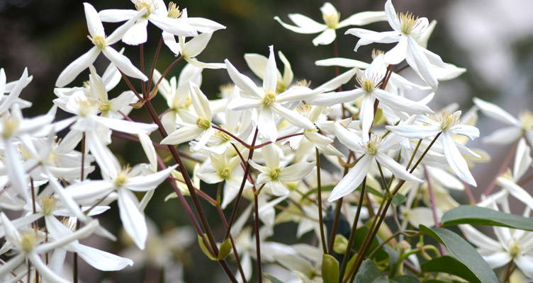 Pruning Evergreen Clematis