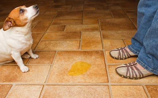 A small dog looks up at its owner after peeing on a tile floor in its house