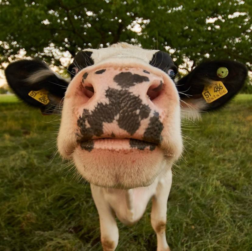 A close up portrait of a dairy cow in a field
