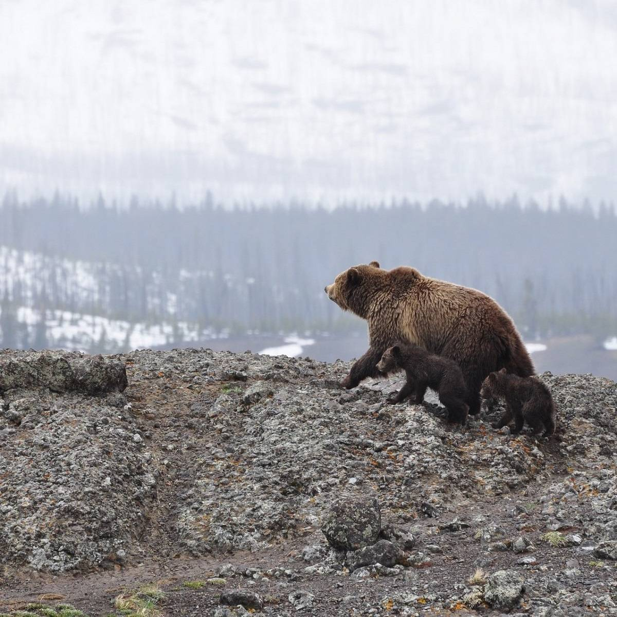A European brown bear with her two cubs on a rocky hill