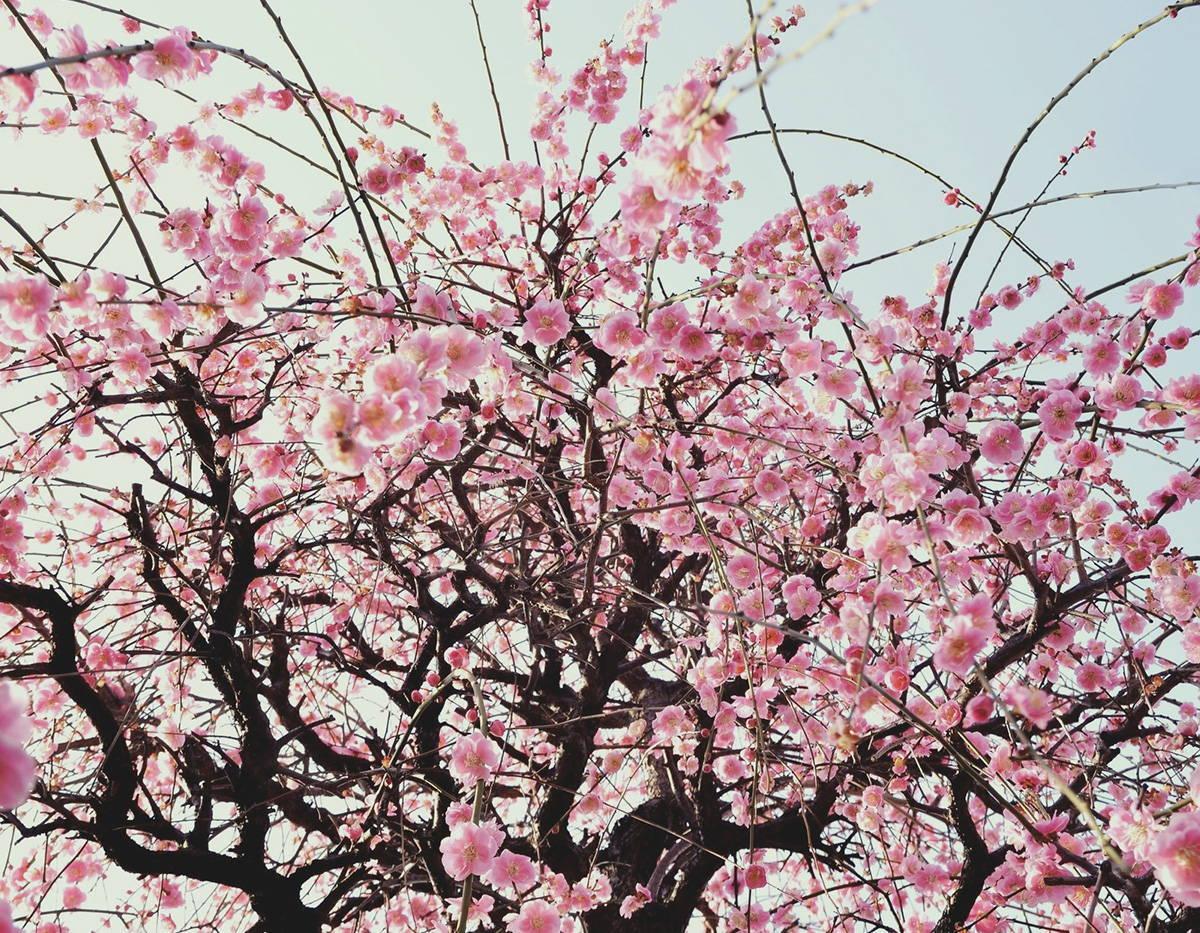 Lotus Fun - Plum Blossom Tree Blooms