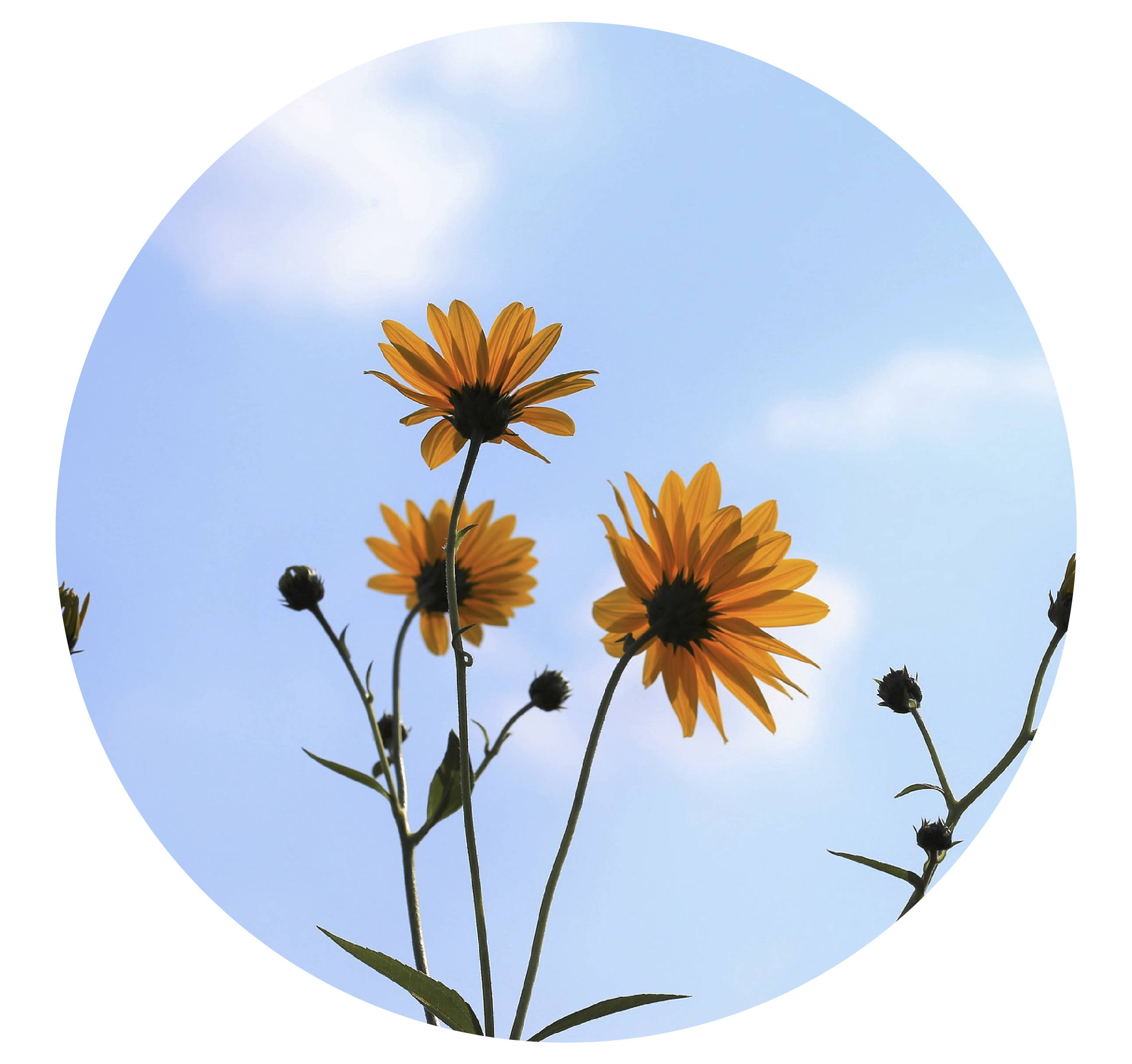 Arnica is known to be an excellent wound healer, and it's great for your scalp too! It stimulates the metabolism and circulation of the scalp, which helps to promote hair growth.