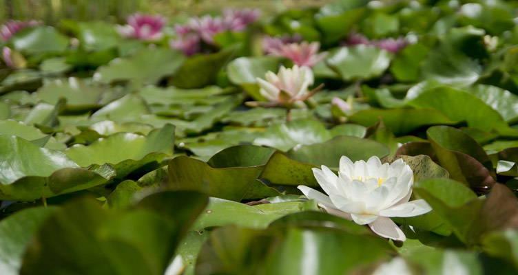 Waterplanten snoeien