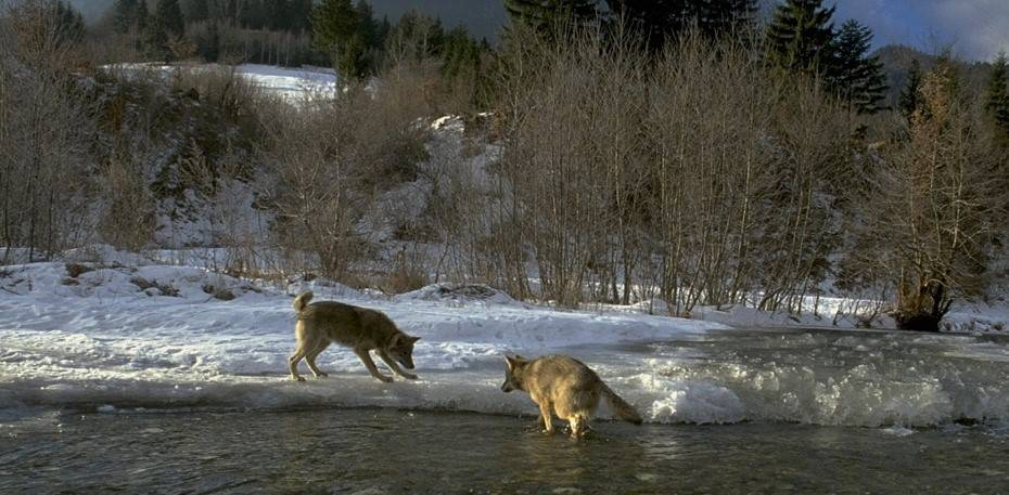 Two wolves play by an icy river