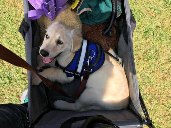 a golden retriever puppy wearing a blue service dog vests sitting in a wagon