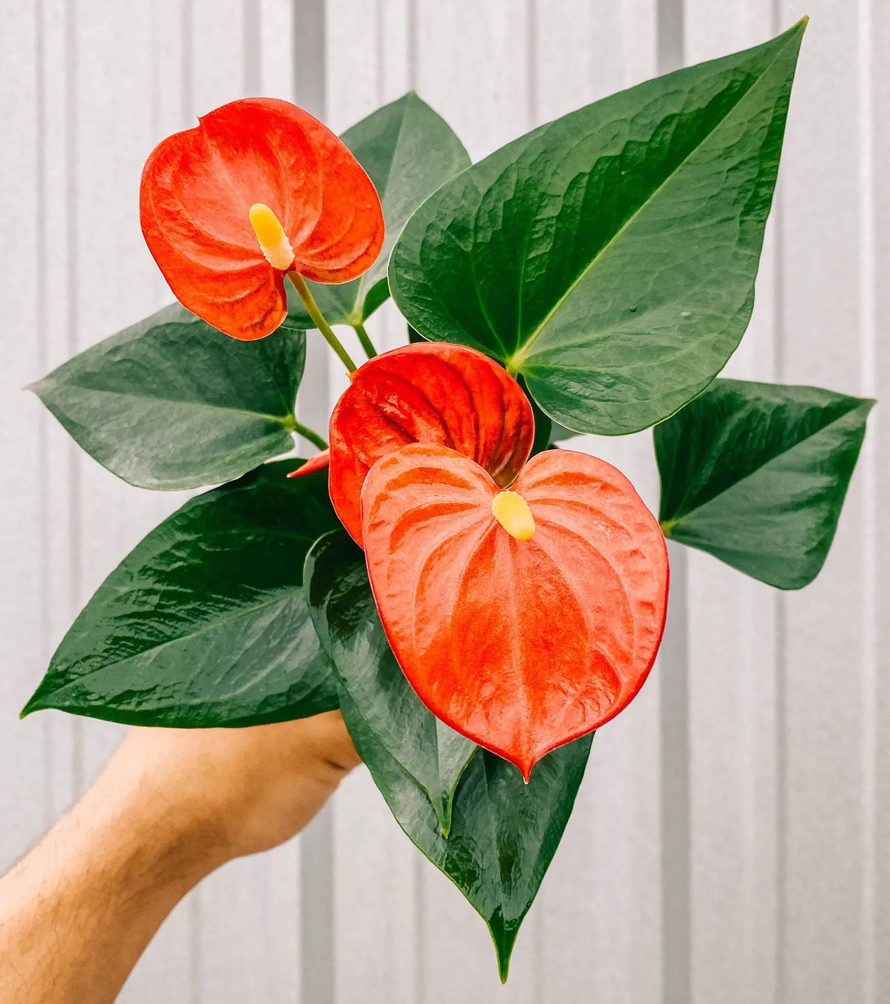 anthurium 'red'