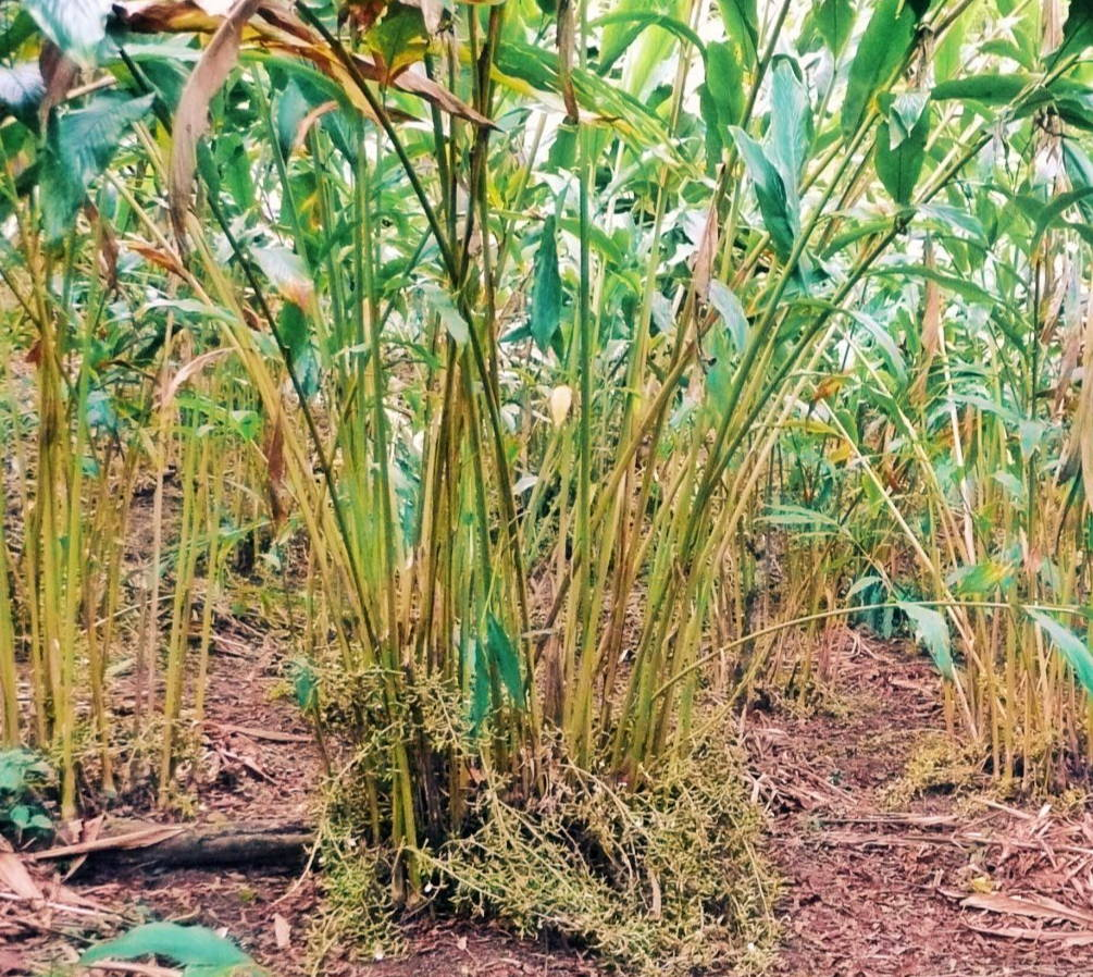 High Quality Organics Express Guatemala Plants