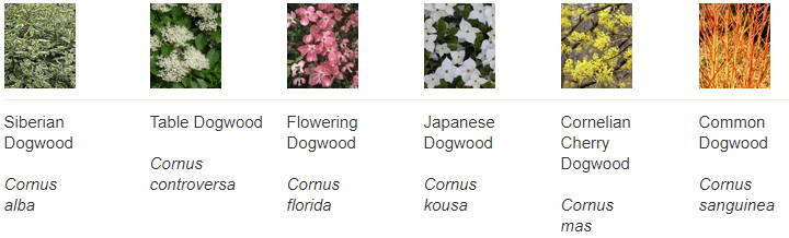 varieties of dogwood