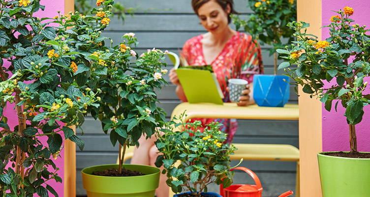 Terrassenpflanze: Wandelröschen