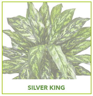 ARTIFICIAL SILVER KING PLANTS