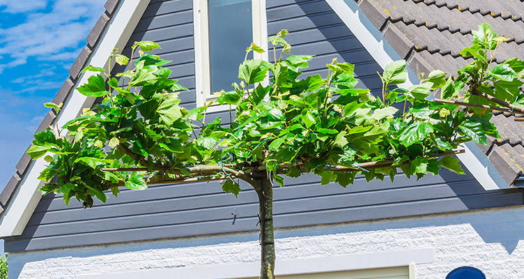 Pruning London Plane (canopy form)