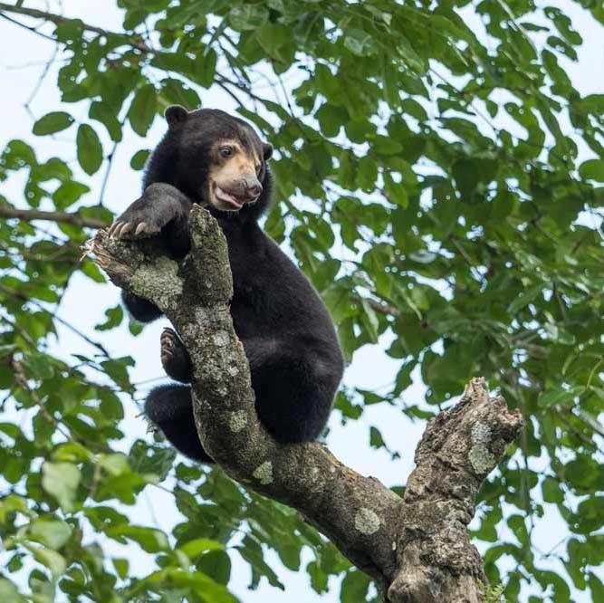 Travelbay Borneo Tours - Customer Reviews - Simon Collard - Sepilok - Sun Bear