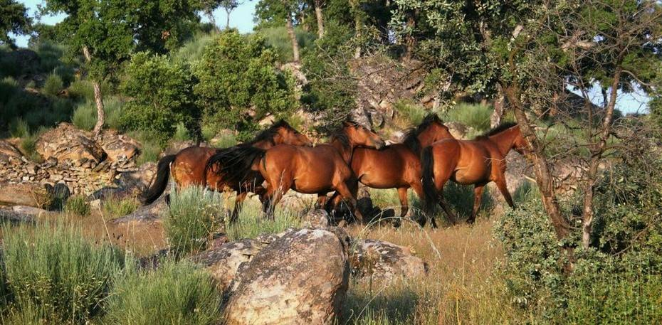 Wild living horses roaming in a oak woodland