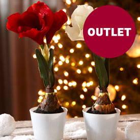 Des plantes d'intérieur pour Noël