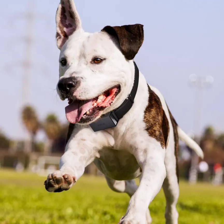dog with Scollar Trek running