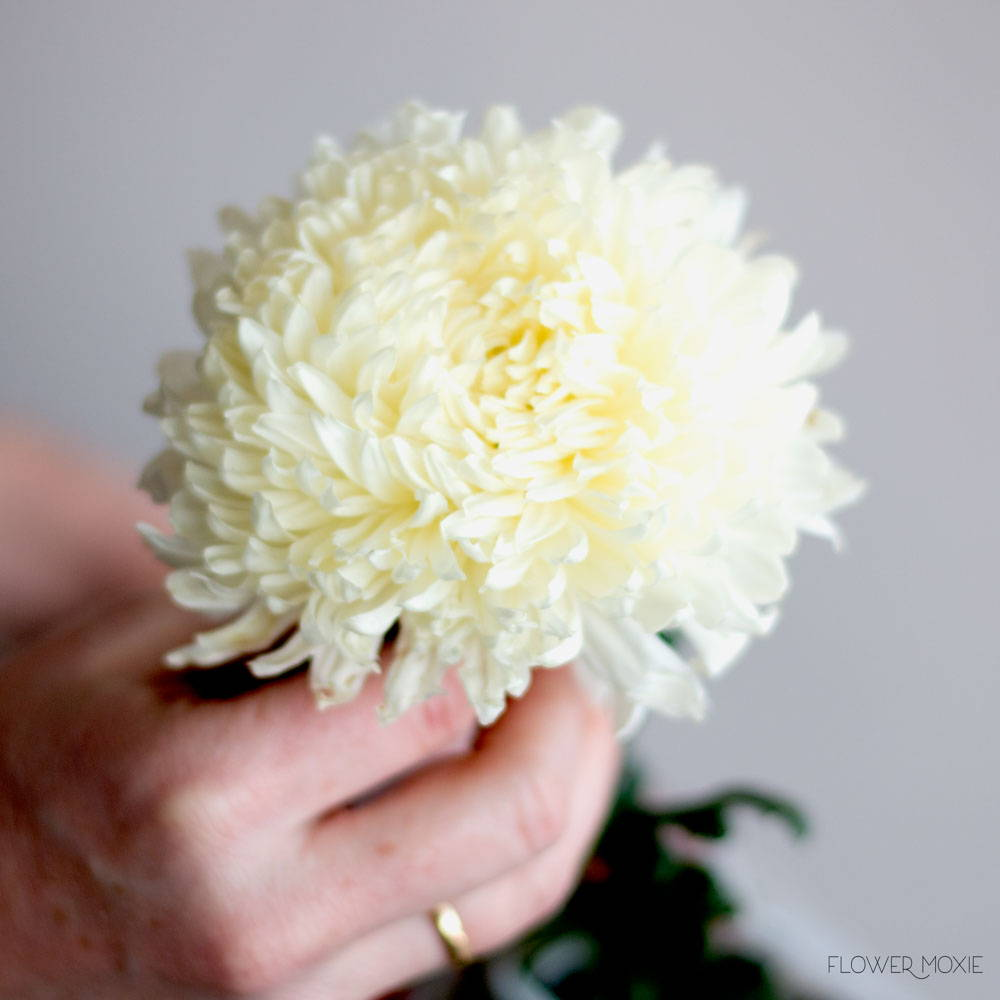 White Football Mum Flower