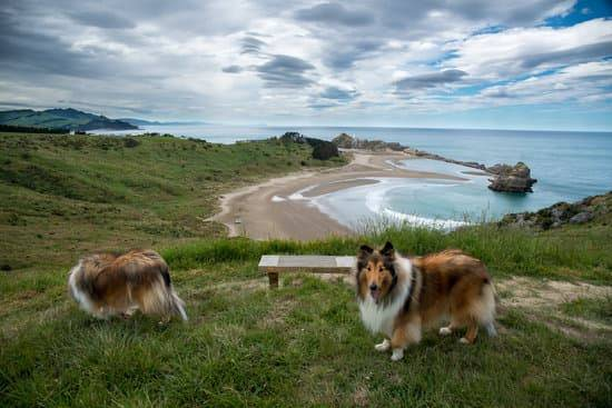 A Pictyre of two brown rough collie dogs walking downhill with the ocean in the background