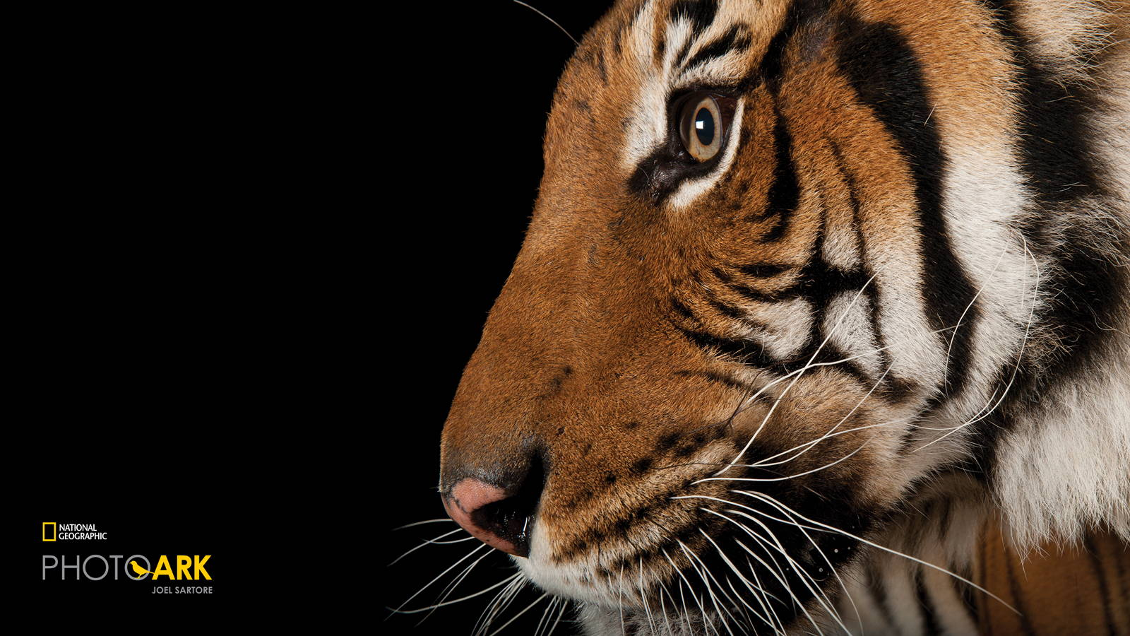 National Geographic Photo Ark Malayan Tiger Banner