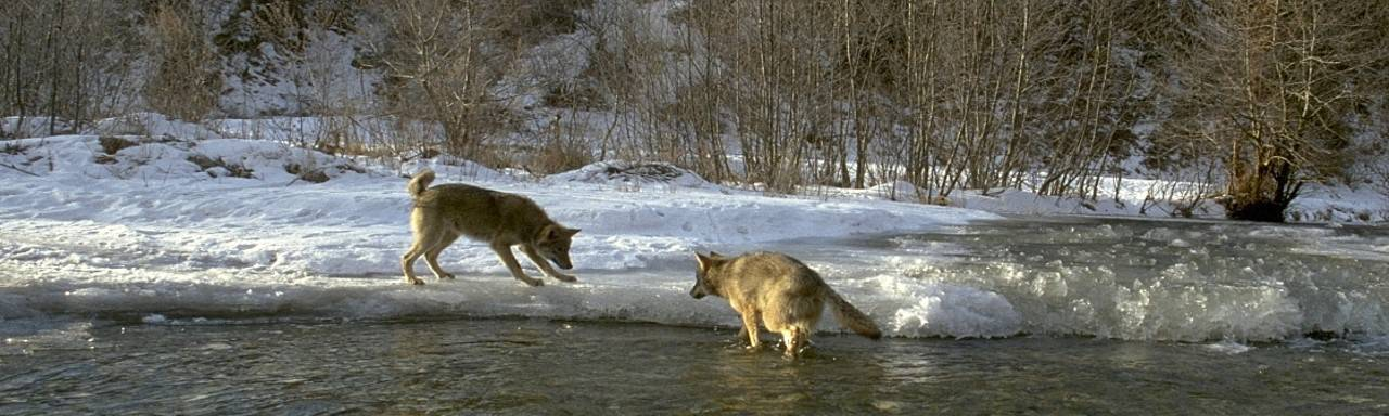 Two wolves play near an icy river