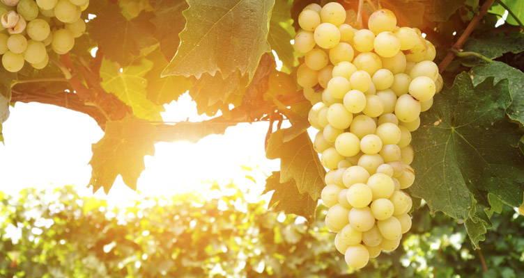 Grapes - Wonderful climbers