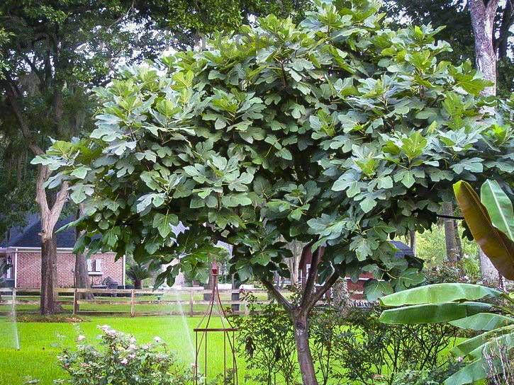 celeste-fig-tree