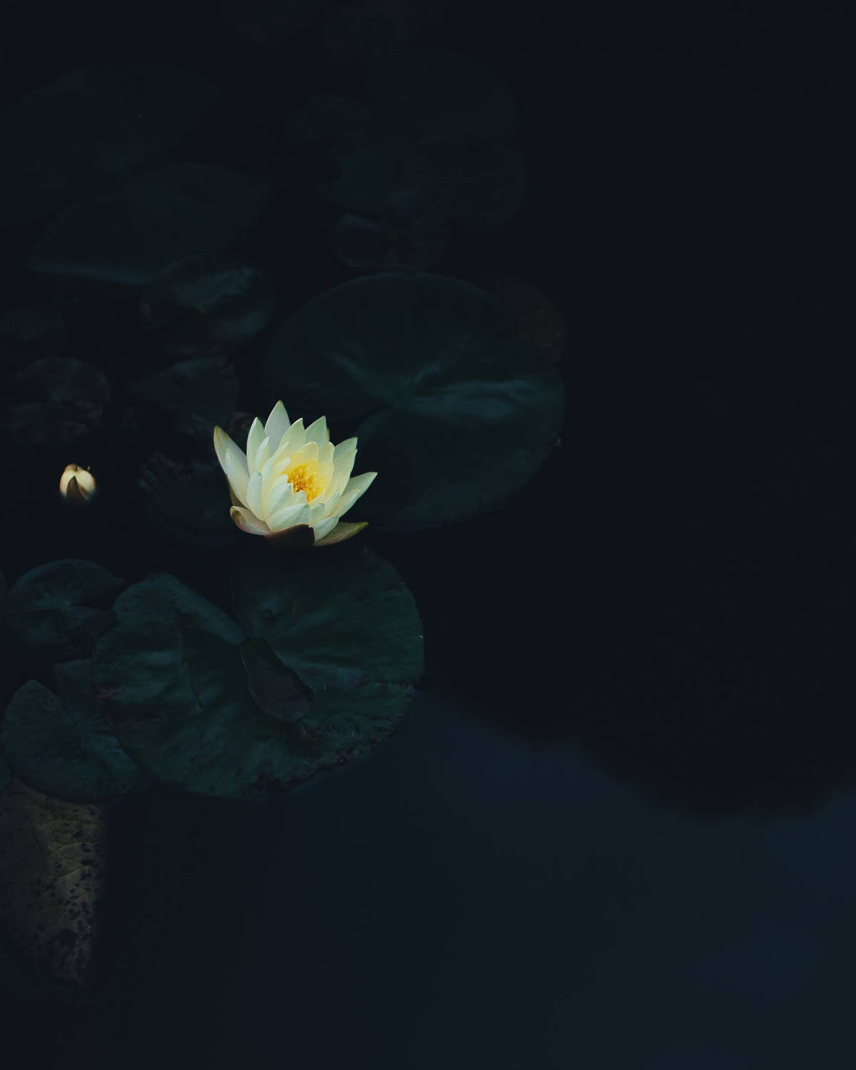 Lily with dark background