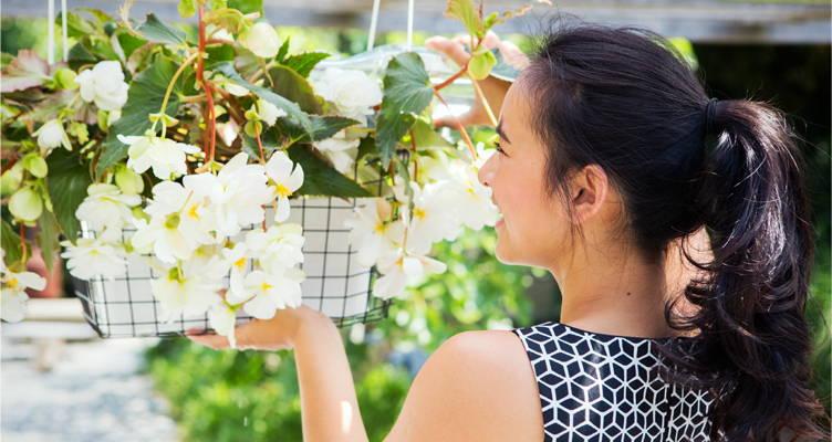 Bulbe à fleur : le Bégonia