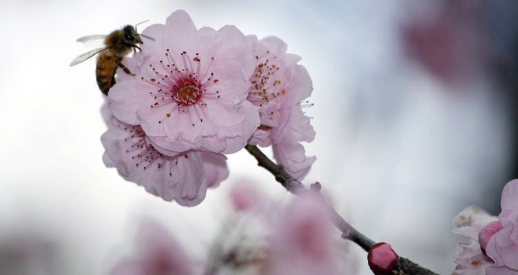 Pruning Flowering Cherry