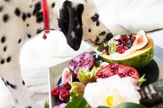 Dalmatian nibbling at a trey full of fruits