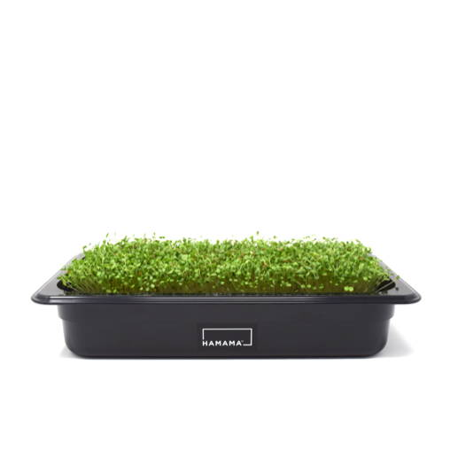 Fully grown homegrown clover microgreens in a grow tray.