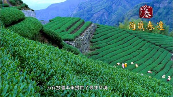 Pu'er Tea Fields in Yunnan Province