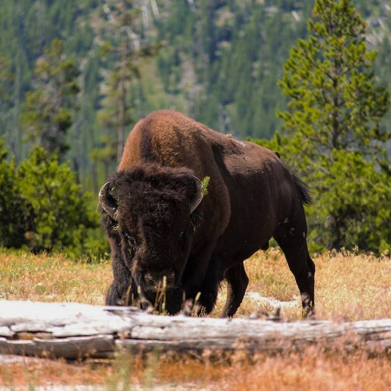 A wild bison stood in a meadow with mountains and forest behind