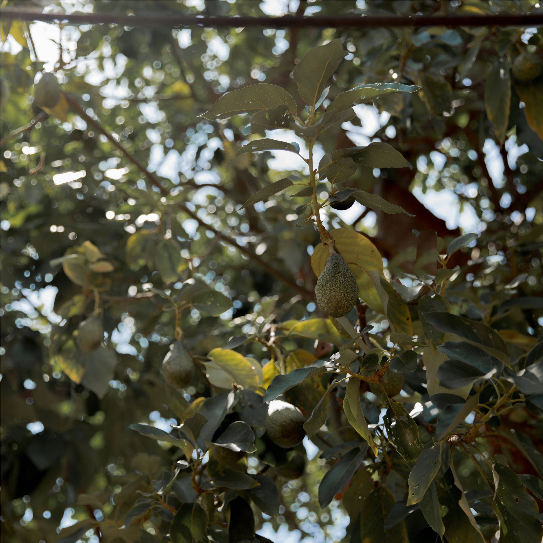 the green leaves and ripe fruit of an avocado tree hang in front of the blue sky.