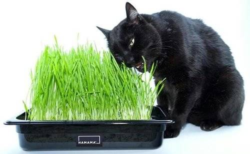 Black cat eating homegrown wheatgrass from a grow tray.