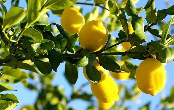 Limón planta
