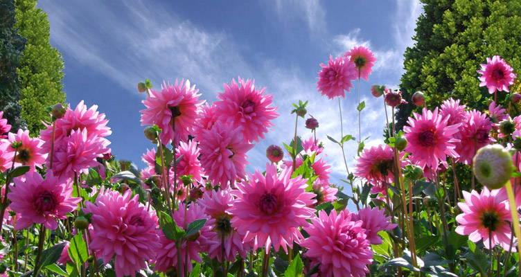 Dahlien: Sommerpflege für prächtige Blüten