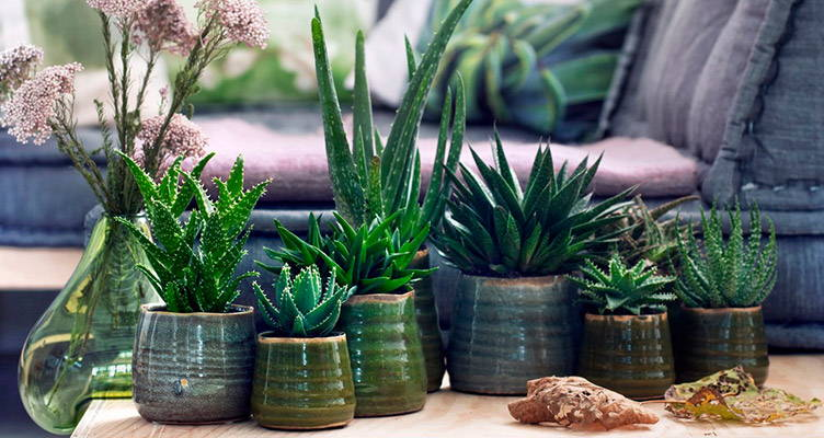 Indoor plant: The Aloe