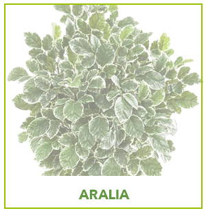 ARTIFICIAL ARALIA PLANTS