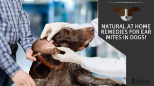 Natural At home remedies for ear mites in dogs