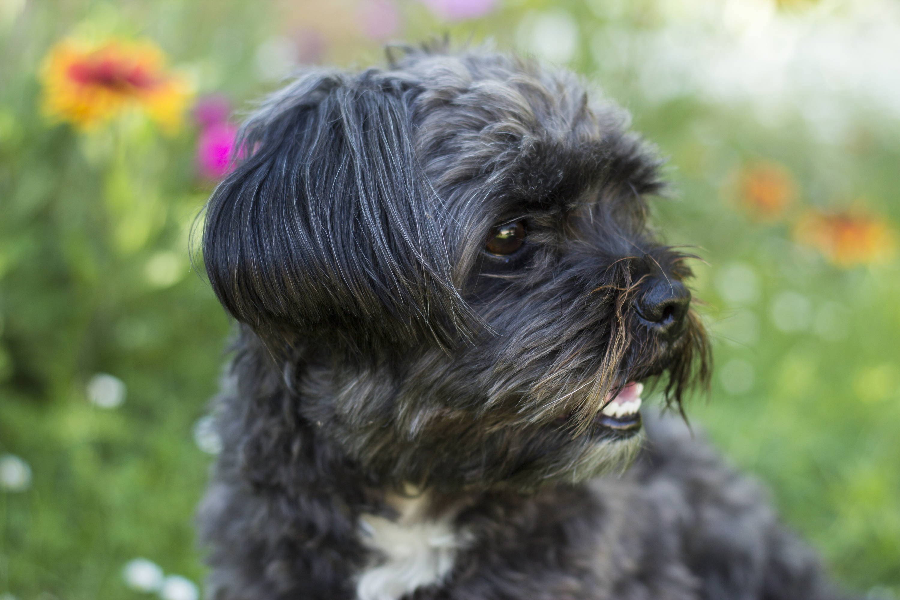 A Shih Tzu And A Yorkshire Terrier Mix The Ultimate Guide To The Shor Petventuresbook