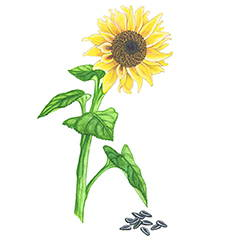 SUNFLOWER SEED OIL Rich in oleic & linoleic fatty acids and contains cleansing properties to remove excess oil and dirt.