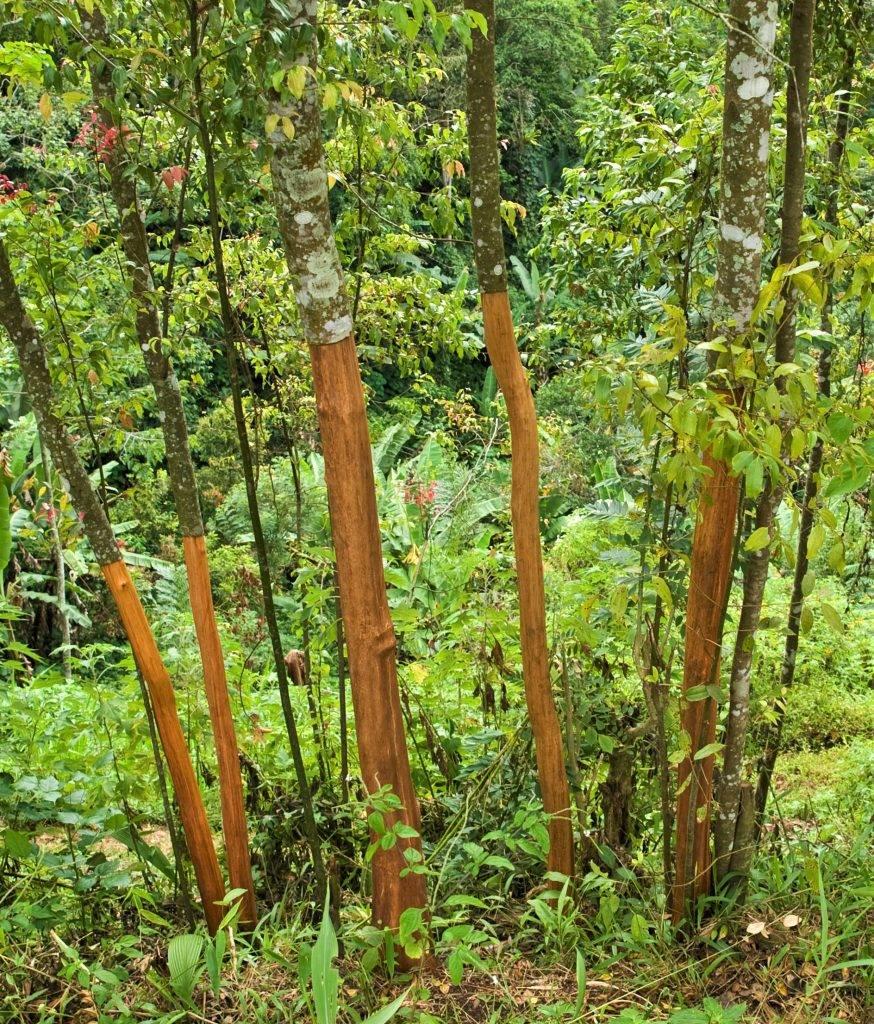 High Quality Organics Express Cinnamon Tree