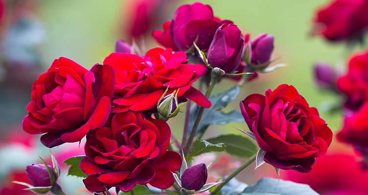 Rosen pflanzen und düngen
