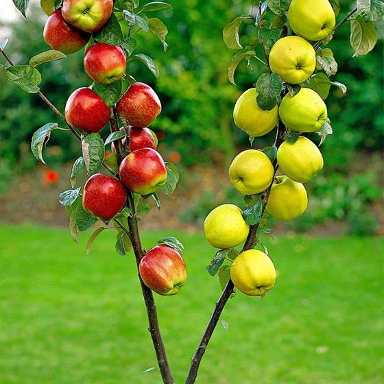 Dual Apple Tree