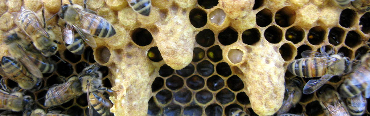 Close up bees on a honeycomb