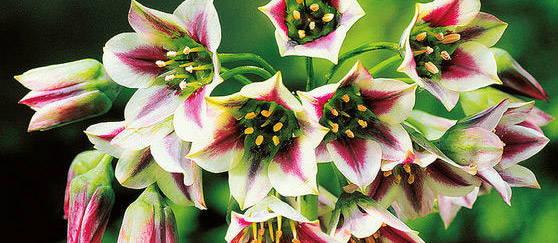 5 bulbes de fleurs des plus excentriques