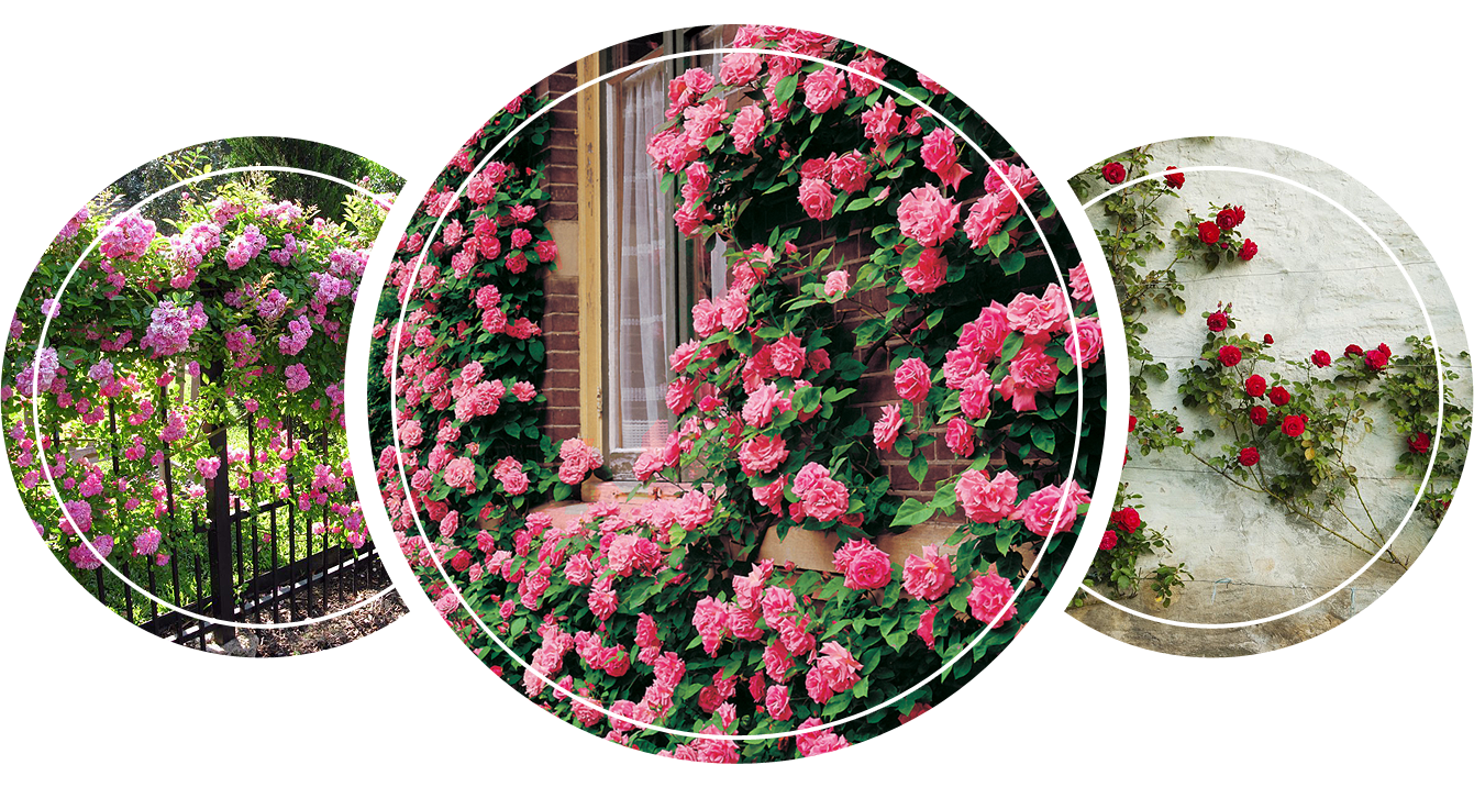 Climbing roses on the walls