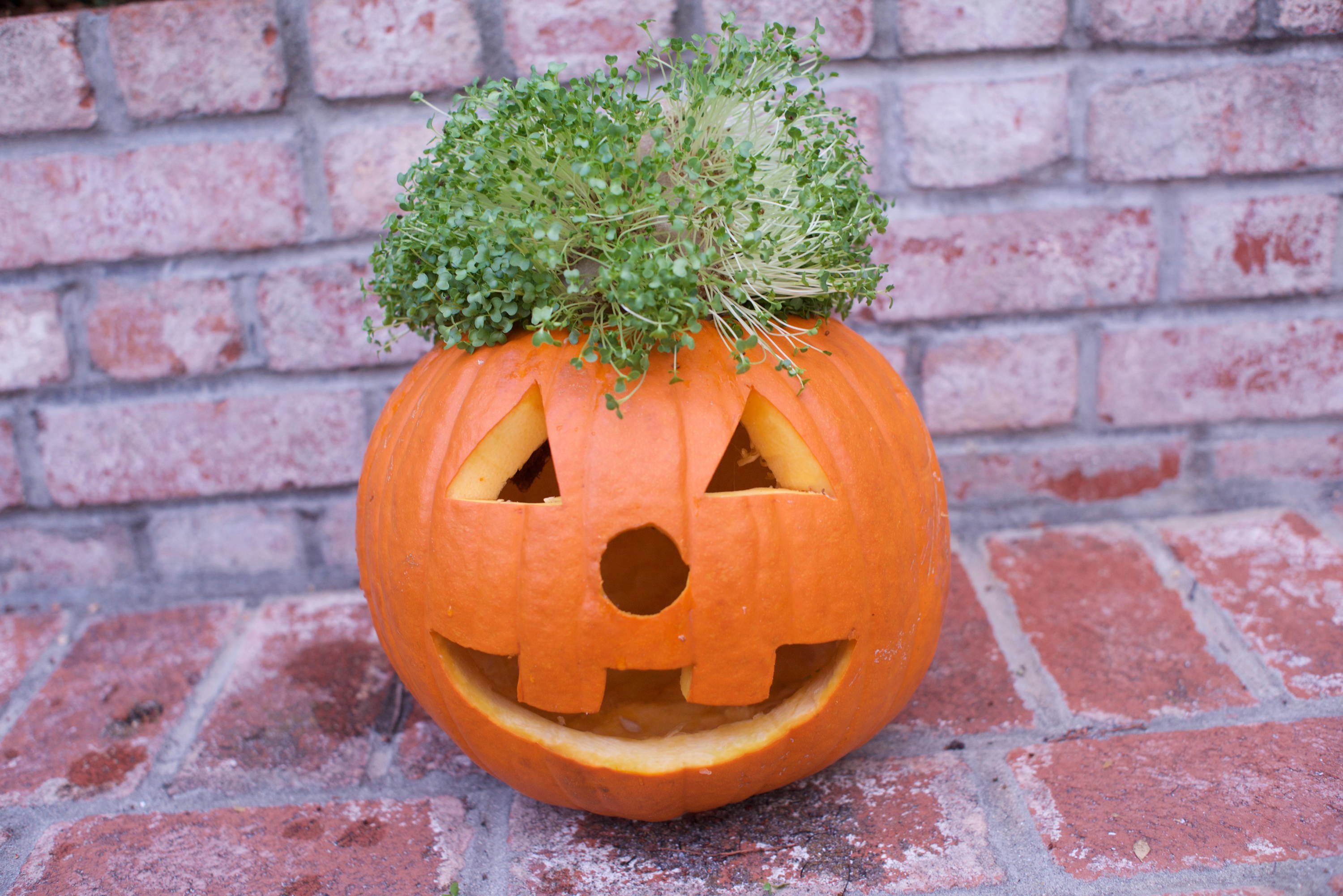 Carved pumpkin jack-o-lantern with homegrown microgreens hair.