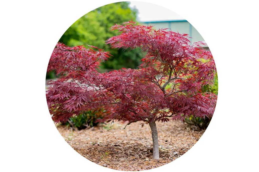 How to Care for Japanese Maples