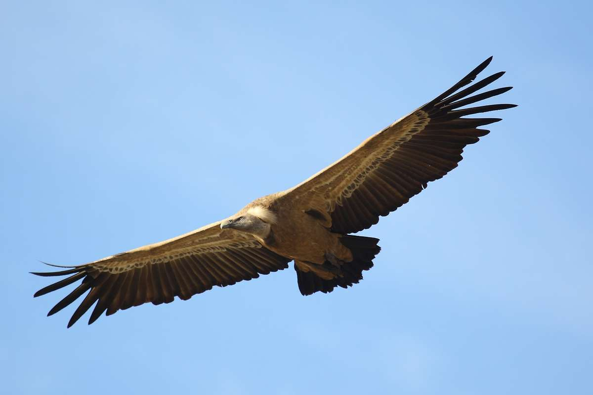 A Griffon vulture flying over the Coa Valley